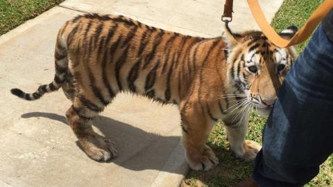 Tiger found roaming streets of Texas neighborhood | Accident